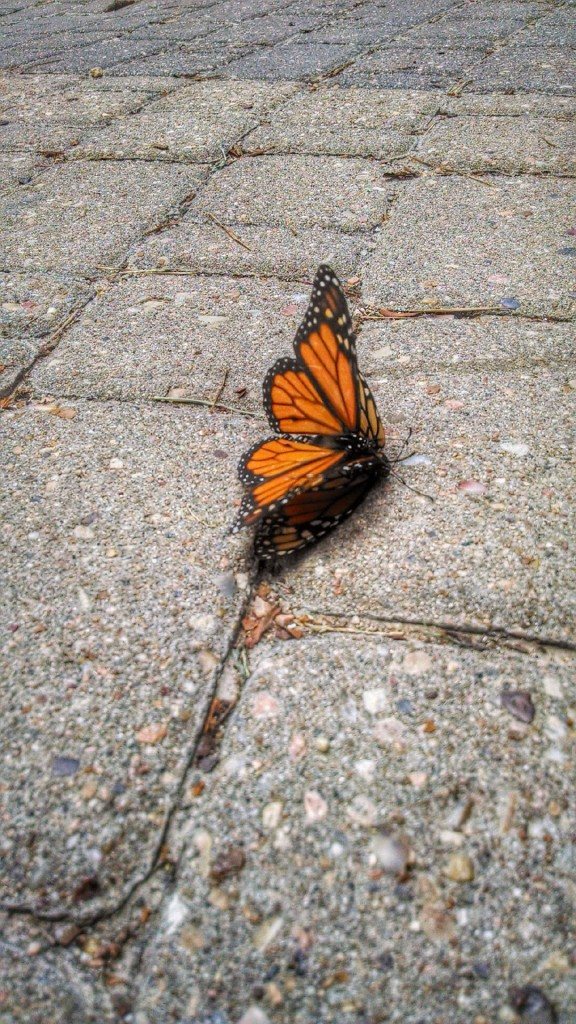 Monarch Butterflies Mating (giggle)